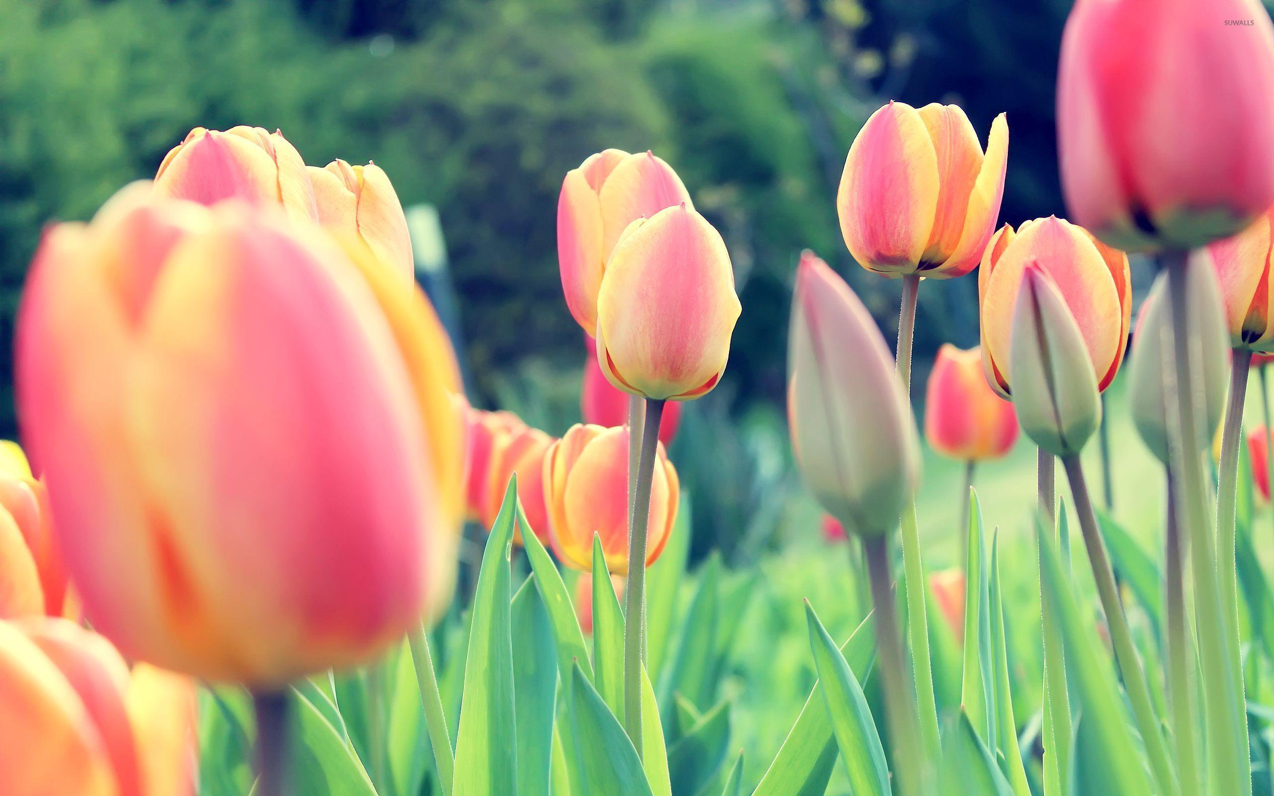 Orange Tulips Bouquet wallpaper.