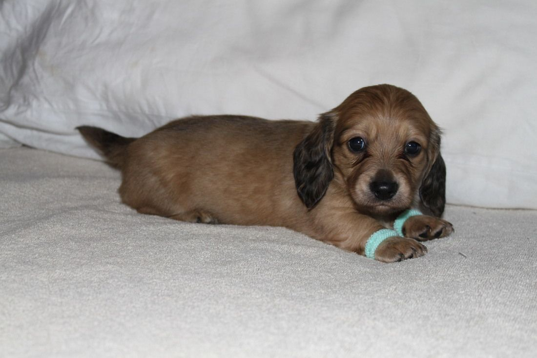 Miniature Dachshund Puppies For Sale English Cream Puppies