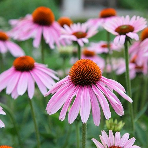 Echinacea Purple Coneflower 100 Seeds By Green Seed Tasmania Strep Throat Remedies Throat Remedies Echinacea