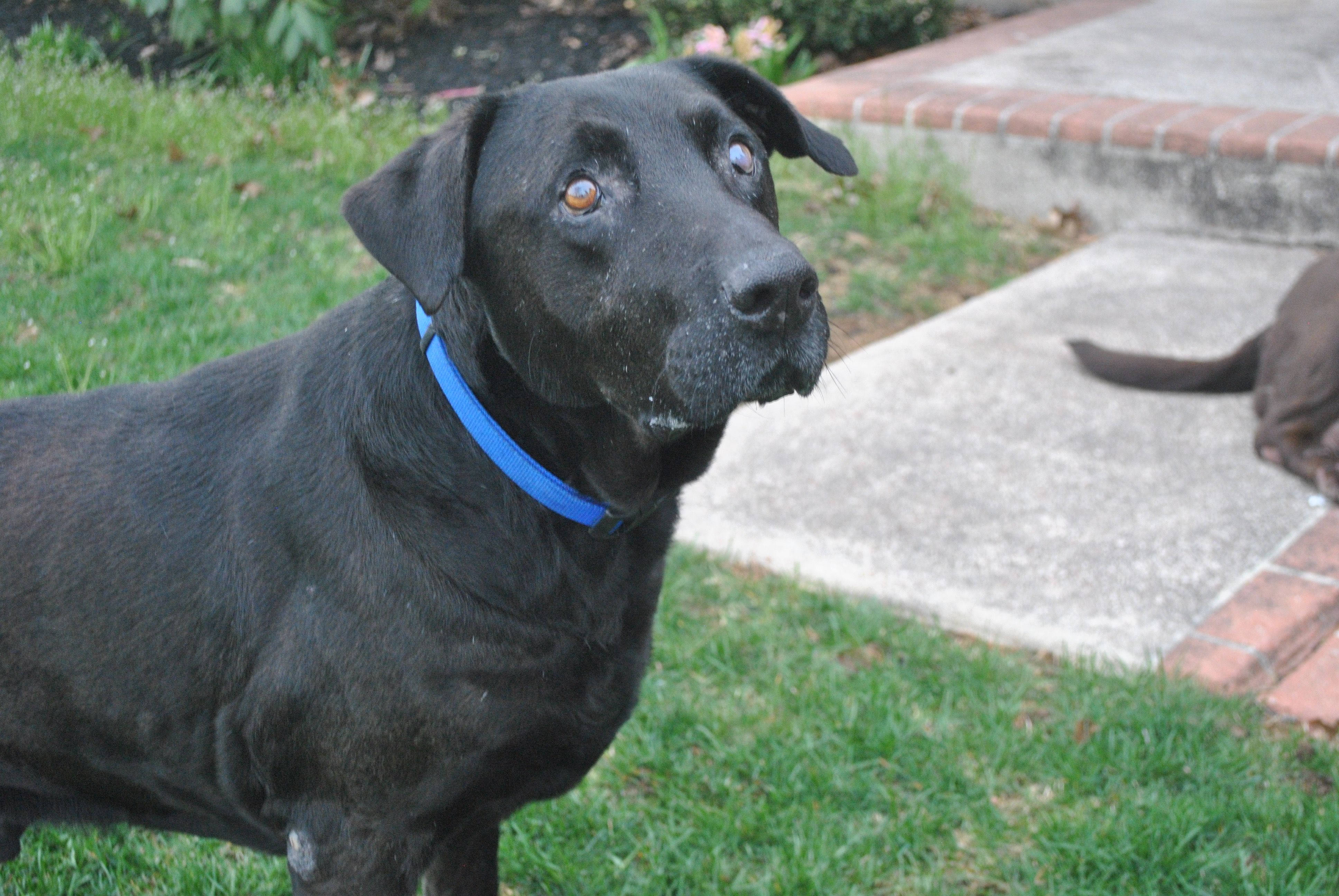 Labrador Retriever Dog For Adoption In Feasterville Pa