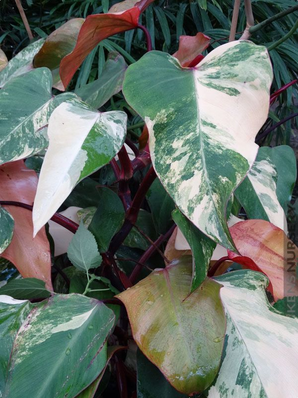 Simply Beautiful Philodendron Erubescens Red Emerald