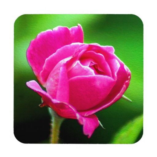 Rosy Pink Drink Coaster