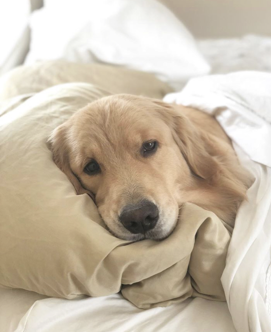 Golden retriever laying on the bed. Zzzzzzz Golden