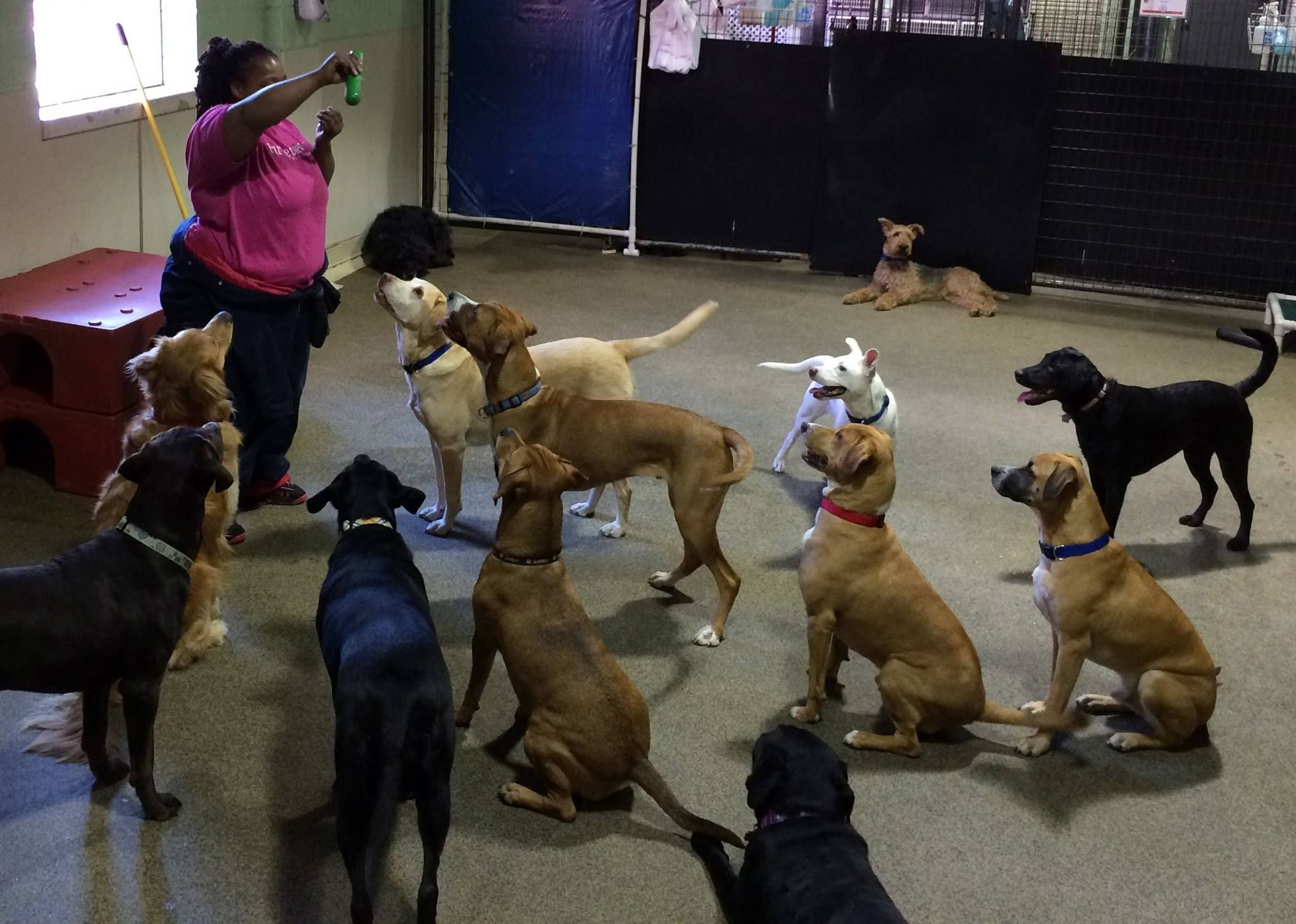 Savita Working On Sit And Stay Commands At Our Dog Daycare