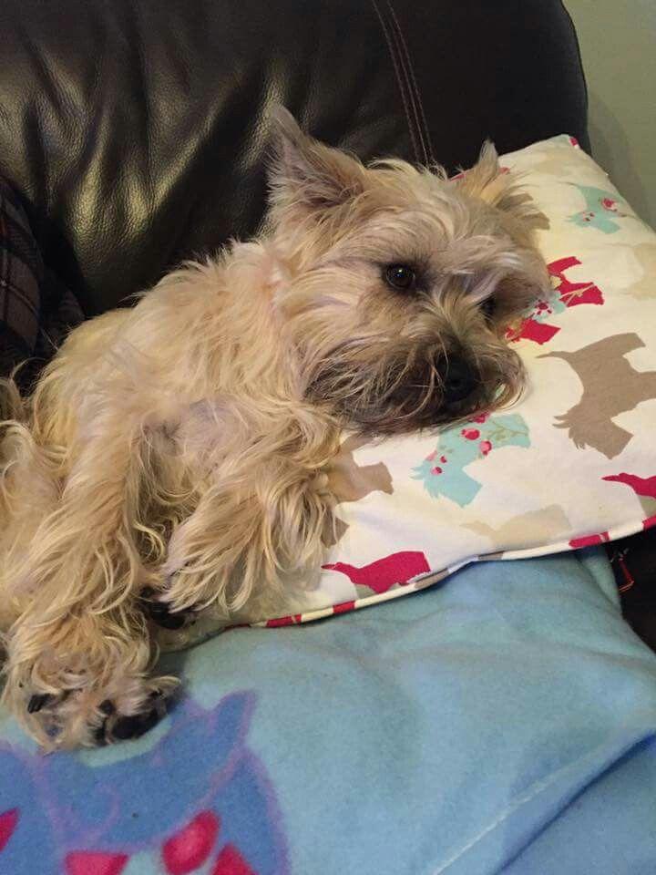 Cairn Terrier International Fan Club On Facebook Cairn Terrier