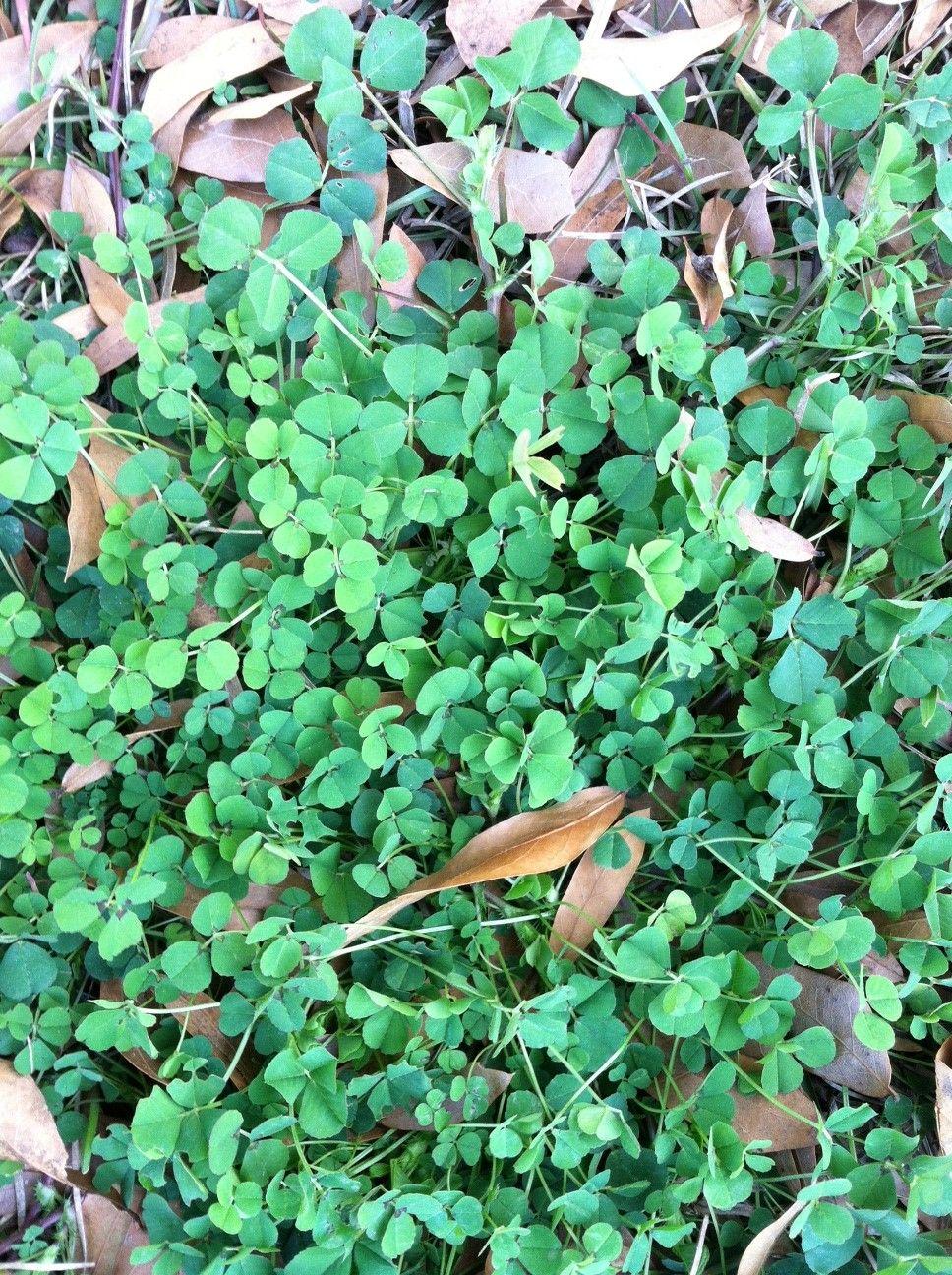 Common Broad Leaf Weeds Found In Savannah Georgia Lawn Weeds In
