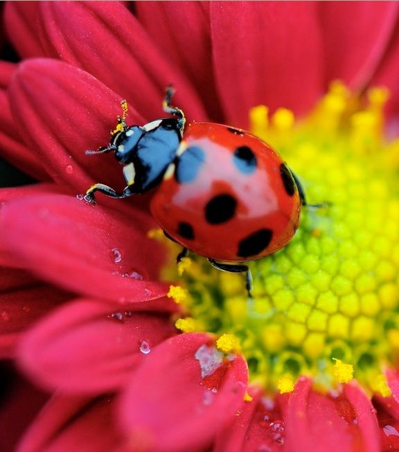 Beautifulnativeplants Ladybugs Lady Beetles Or Ladybird: Paws, Tails, Fins & Feathers