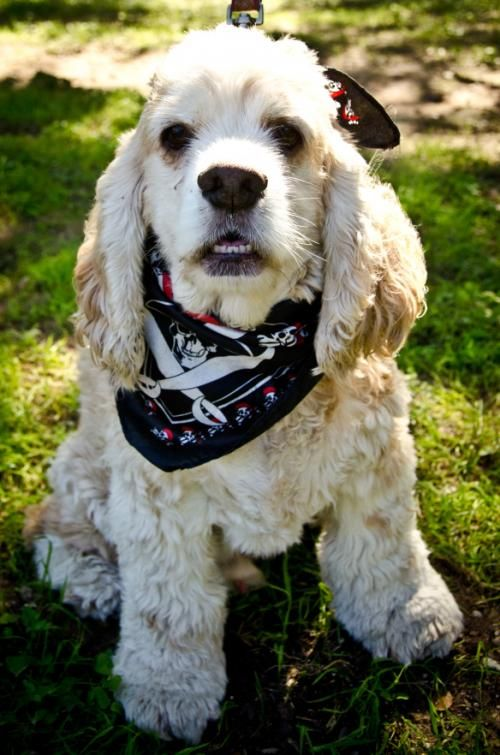 Adopt Bailey On Petfinder Cocker Spaniel Rescue Cocker Spaniel Dog Adoption