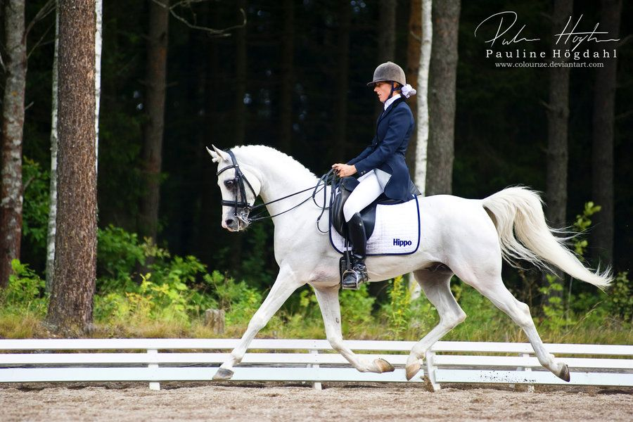 Pure Bred Arabian Mare for Endurance or Dressage - Arabian ...