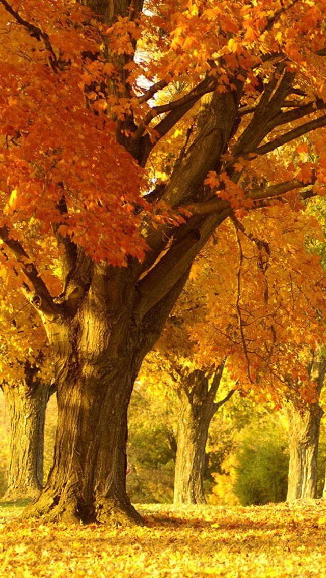 Golden Autumn Tree Iphone 5 Wallpapers Hd Autumn Trees Autumn Scenes Autumn Landscape