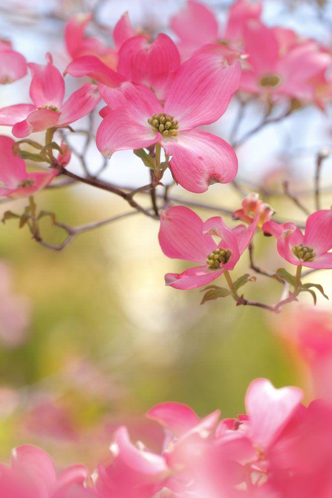 ~~Dogwood Flowers by mizuk@~~
