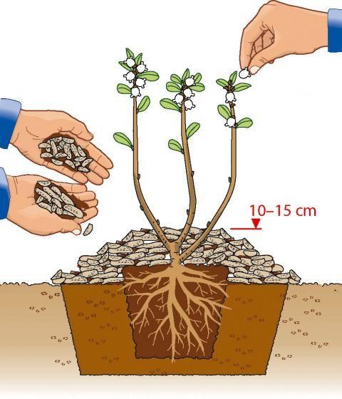 heidelbeeren richtig pflanzen elke pinterest pflanzen garten und heidelbeeren pflanzen. Black Bedroom Furniture Sets. Home Design Ideas