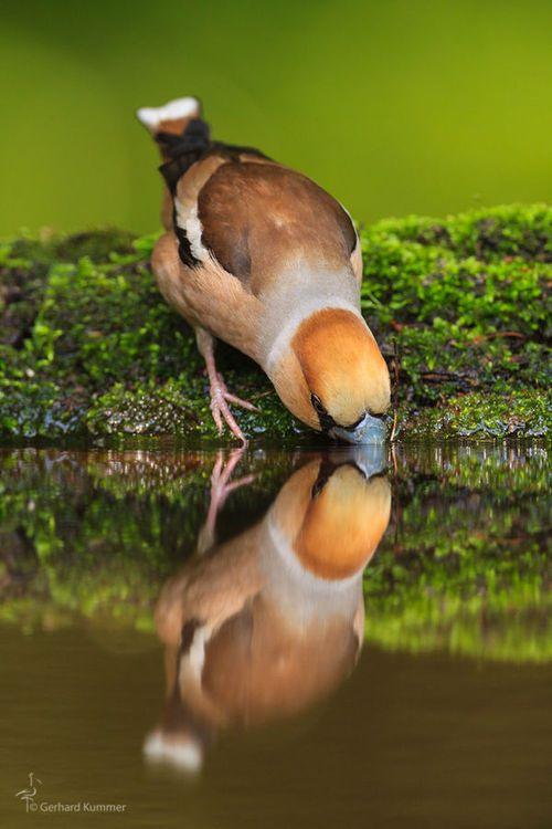 Hawfinch by Gerhard Kummer