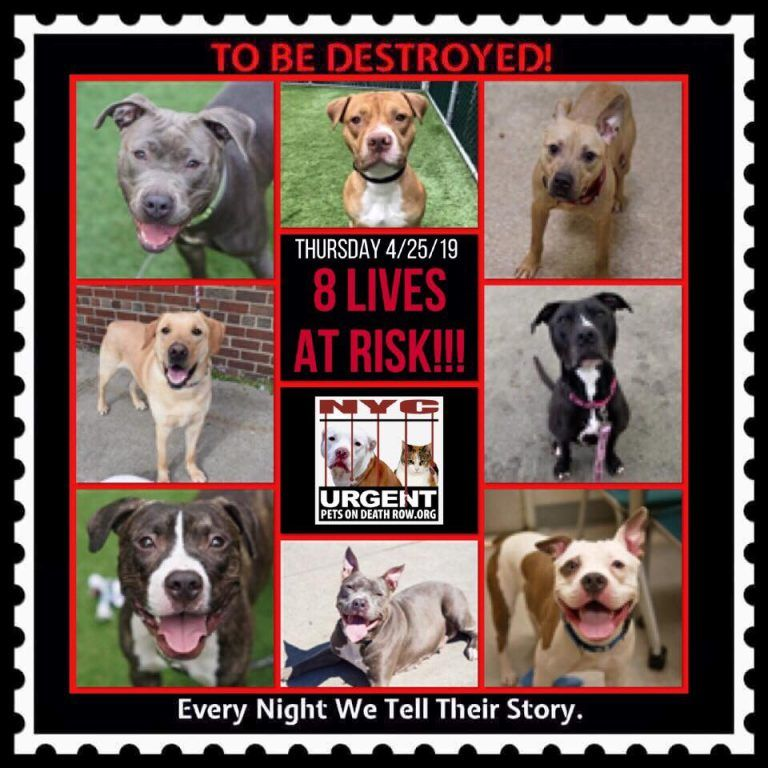 8 Lives To Be Destroyed 4 25 19 Nyc Acc So Many Great Dogs