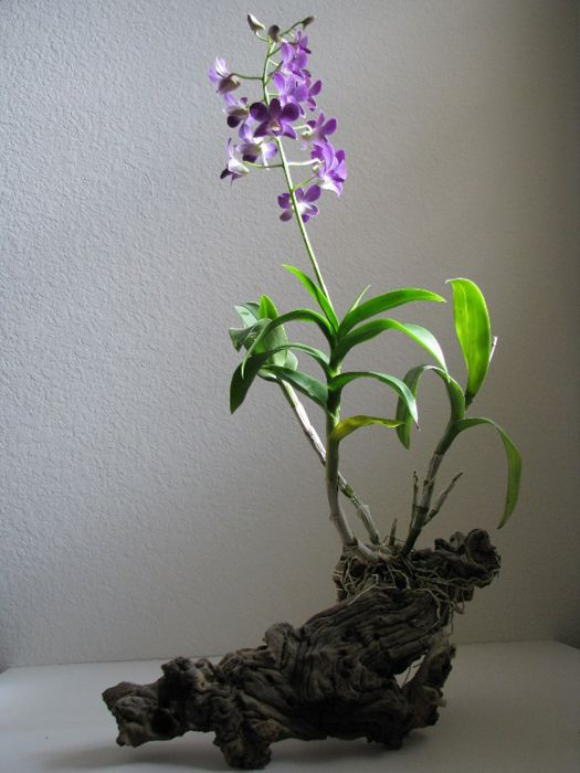 b69fe340781287 OrchidTalk Orchid Forums - Grow Orchids! - How To   Mounted Orchids ...