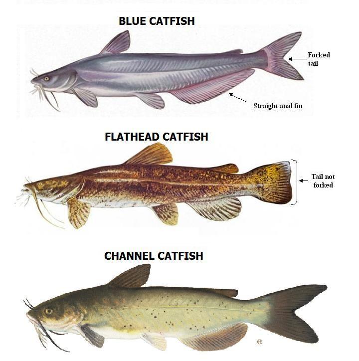 Catfish Species   Catfish Species Huntin Fishin Pinterest Catfish