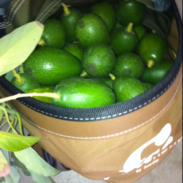 My pickings from today. 50 lbs of Bacon avocados.
