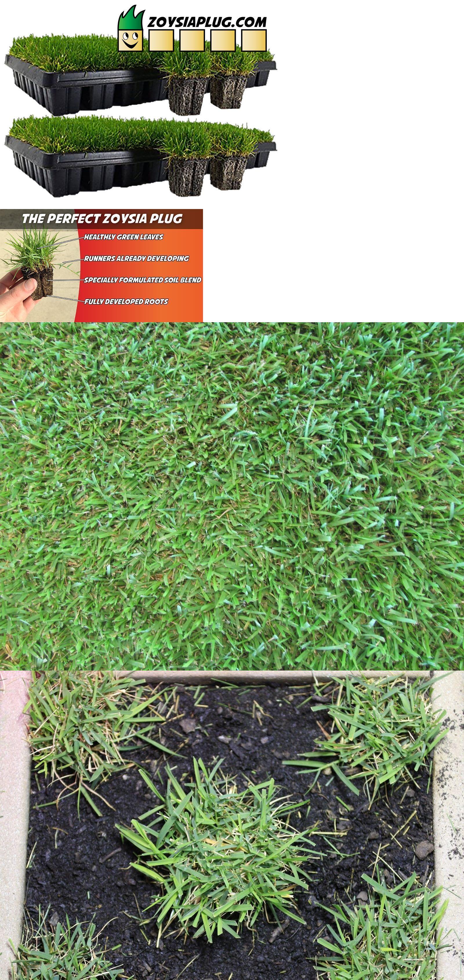 Seed Starting And Cloning 178986 Zoysia Grass Plugs Two Trays 100 Plugs Free Shipping Order Zoysia Lawn Now B Grass Plugs Zoysia Grass Zoysia Grass Plugs