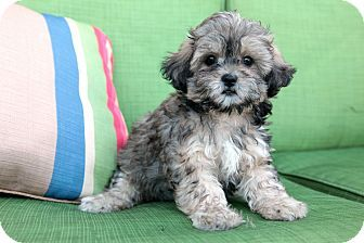 Franny In Kittery Maine Puppy Shih Tzu And Miniature Poodle Mix