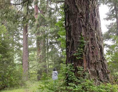 Old growth Douglas Fir scheduled for clearcutting.  Oh No!!