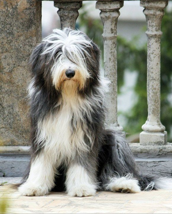 Nina Bearded Collie Dog Black And White Www