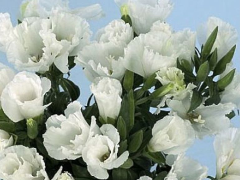 Godetia White Google Search Outdoor Gardens Outdoor Projects Nature Girl