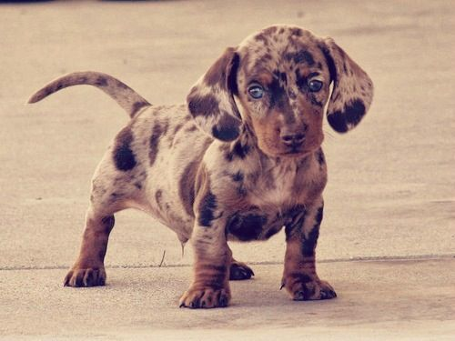 Dachshund Puppy Chocolate And Tan Marbled Gorgeous Colour