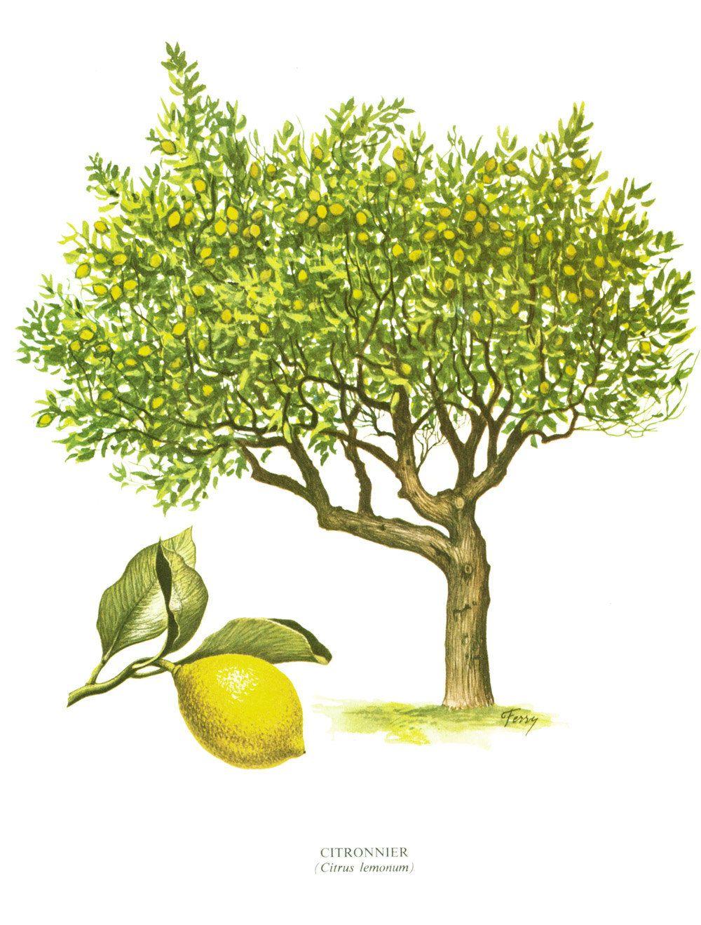 1967 citronnier planche botanique arbres feuillus forets. Black Bedroom Furniture Sets. Home Design Ideas
