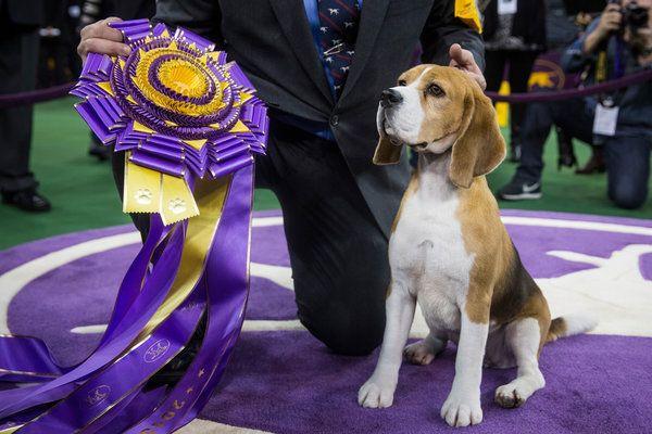 A Regal Beagle Seizes The Spotlight Dog Show Beagle