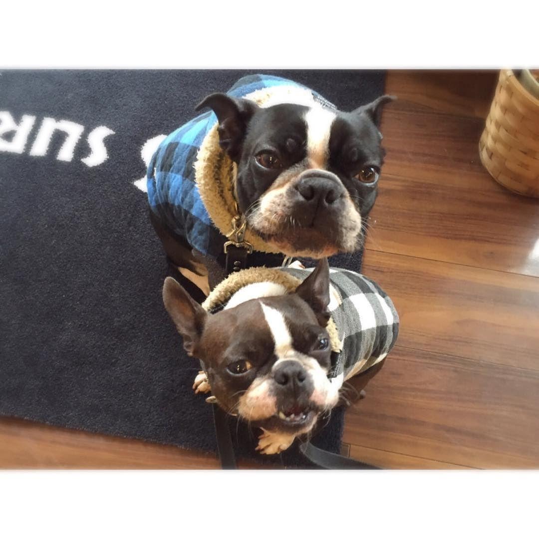 モグモグ中  #bostongram #bostonterrier #bostonterriers #BostonTerriersForever #okinawa #buhi #pecha #instadog #dog #dogs #ボストンテリア#ボステリ#犬#犬バカ#犬バカ部#沖縄#看板犬 by ace_mona