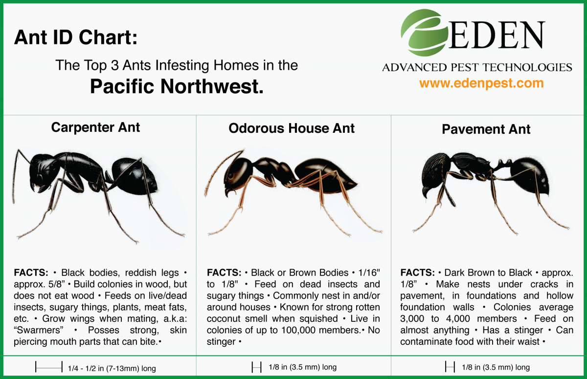 Ant Id Chart Carpenter Ants Odorous House And Pavement
