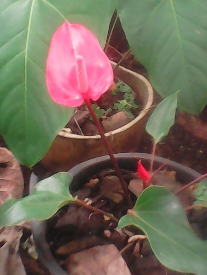 How To Grow Anthurium Plants Anthurium Plant Plants Anthurium
