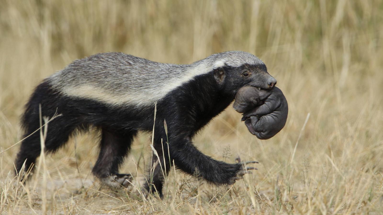 Honey badger do care honey badger animals badger
