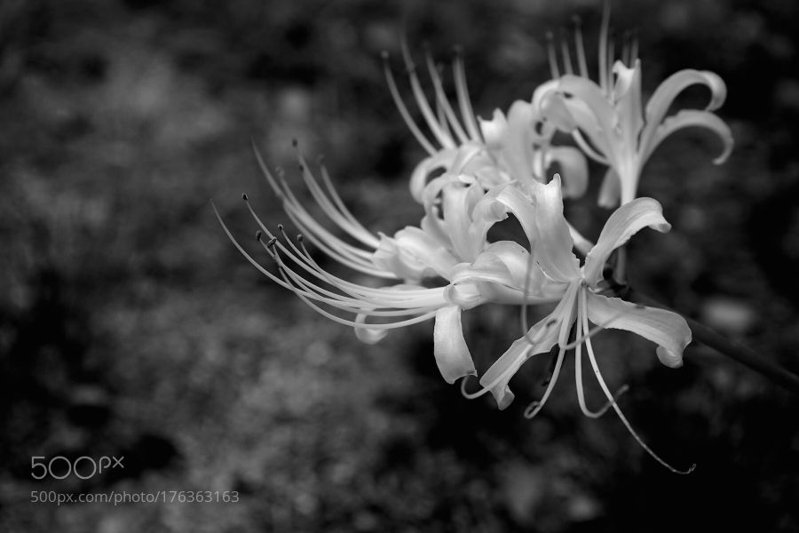 cluster amaryllis by forest2