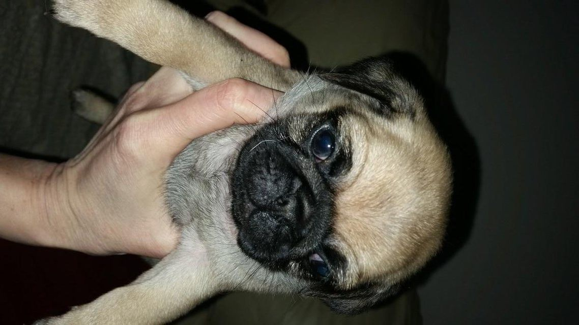 Kc Reg Pug Puppies For Sale In Great Barr Birmingham Preloved
