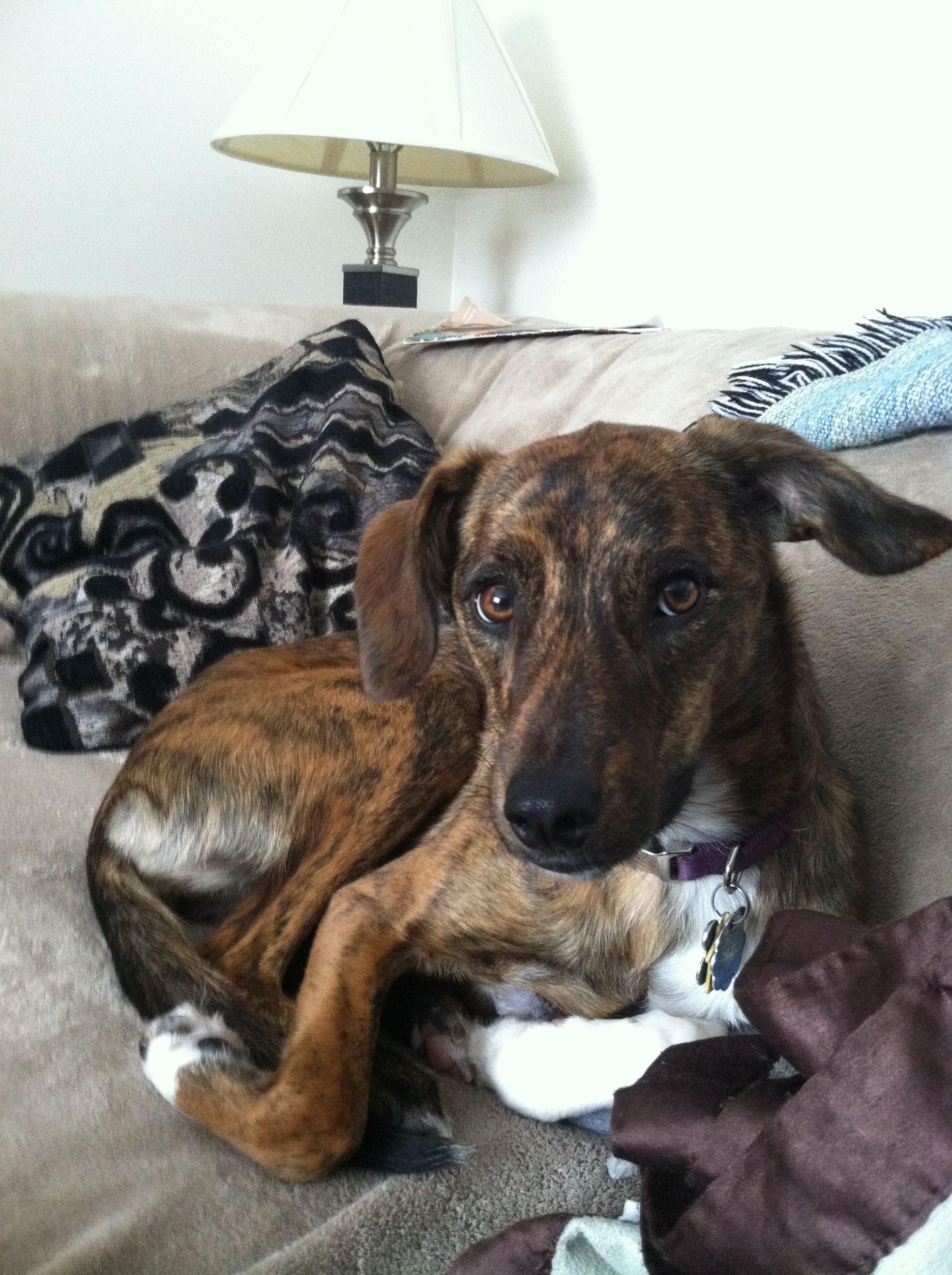 Amy the Plott hound from Cincinnati #plotthound
