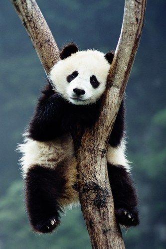 Cute Baby Animals 100 Reasons To Go Ahhhh Cute Panda Panda Panda Bear