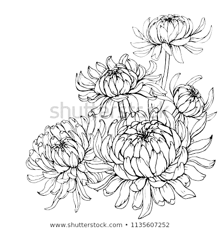 Pin By Rosana On Tattoo In 2020 Flower Line Drawings Chrysanthemum Drawing Flower Pattern Drawing