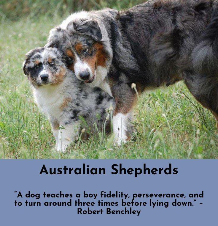 Australian Shepherd History Australian Shepherd Aussie Dogs Australian Shepherd Dogs