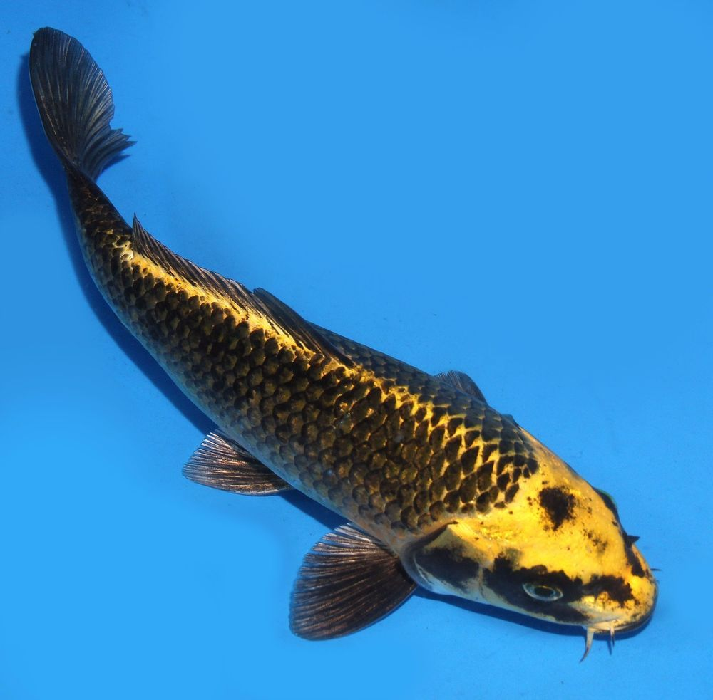 Live Koi Fish 8 Black Yellow Dark Matsuba Pinecone Ghost