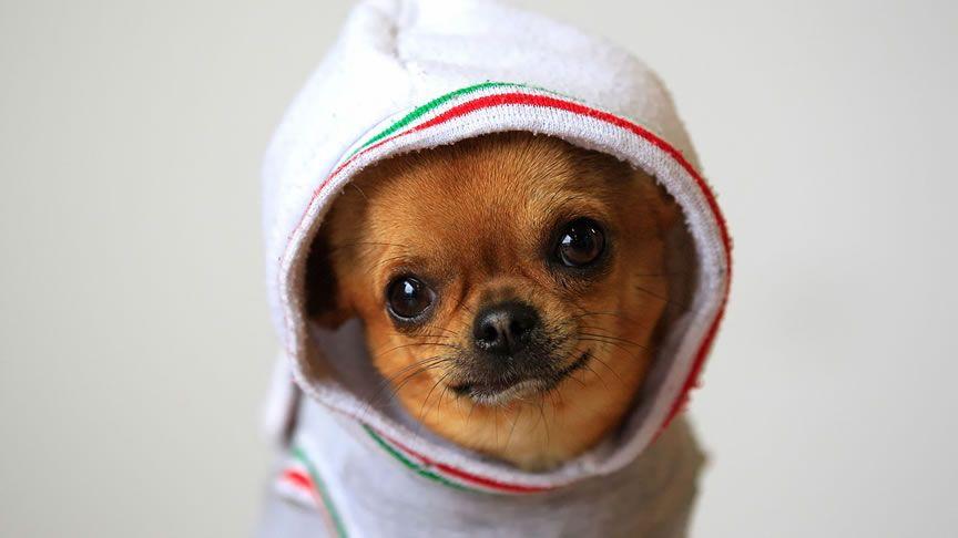 Animales Hd Wallpaper Chihuahua Puppies Cute Chihuahua Chihuahua Funny