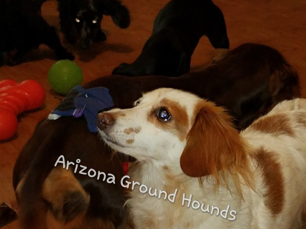 Maggie Muddypaws From Arizona Ground Hounds Red Piebald Rescue