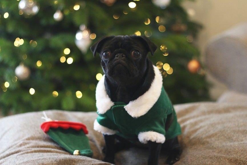 Nalas Christmas Photoshoot Photoshoot Pugs Animals