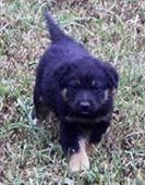 Meet Urgent fosters needed a Petfinder adoptable German Shepherd Dog Dog | Palm Harbor, FL | S.P.O.T. Save Pets of TodayImmediate need for foster home(s) for these 5 week puppies. If you are...