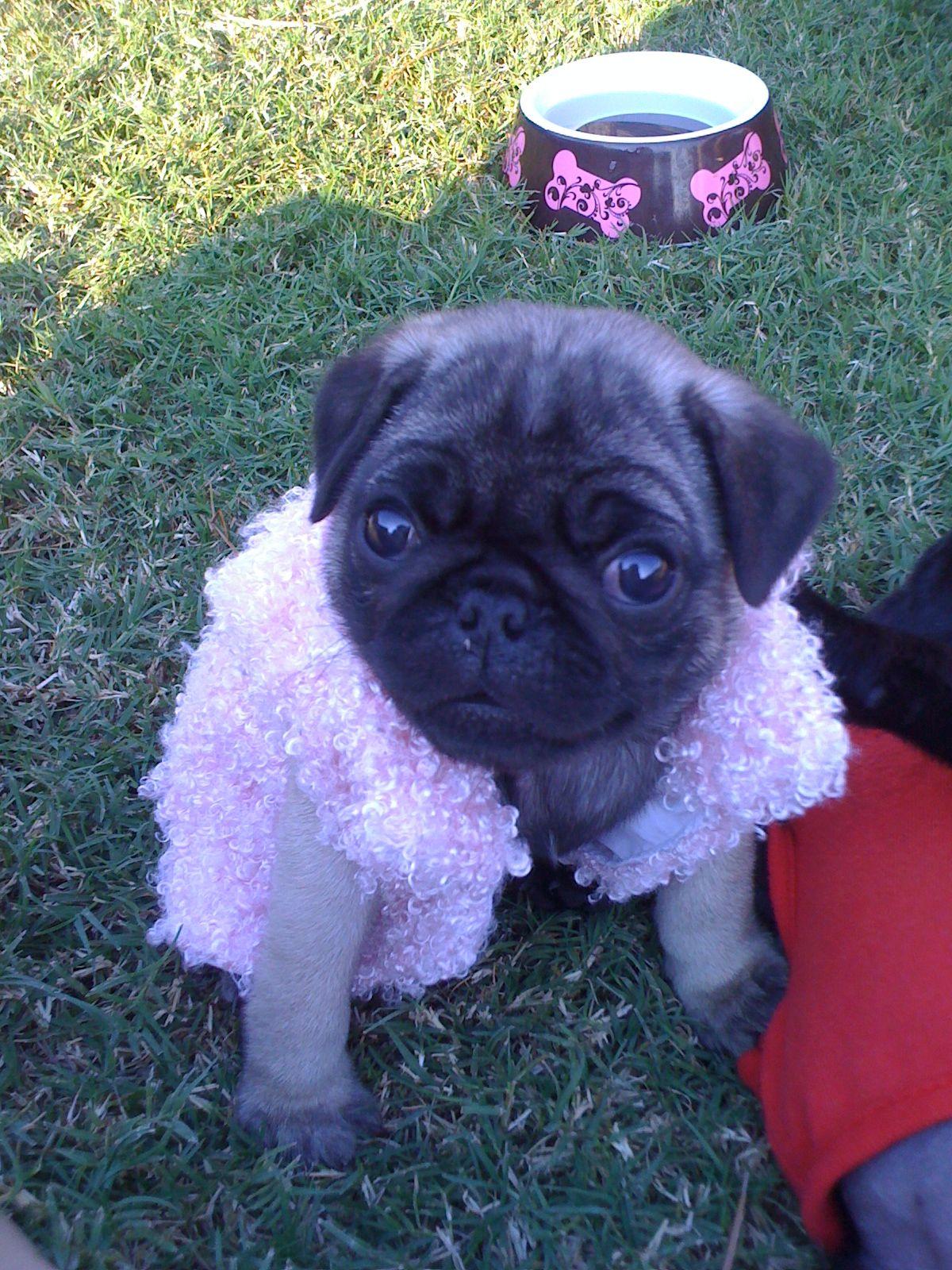 Diva Pug In A Fur Coat Cute Animals Pets Pugs