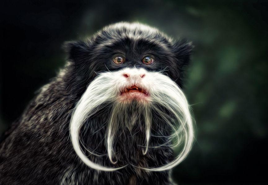 Emperador Tamarin, un mono que recibió su nombre por su gran parecido con el emperador alemán Wilhelm II. ¡Pobre hombre! Foto de Manuela Kulpa | #paratorpes #animales #naturaleza #monos #simios