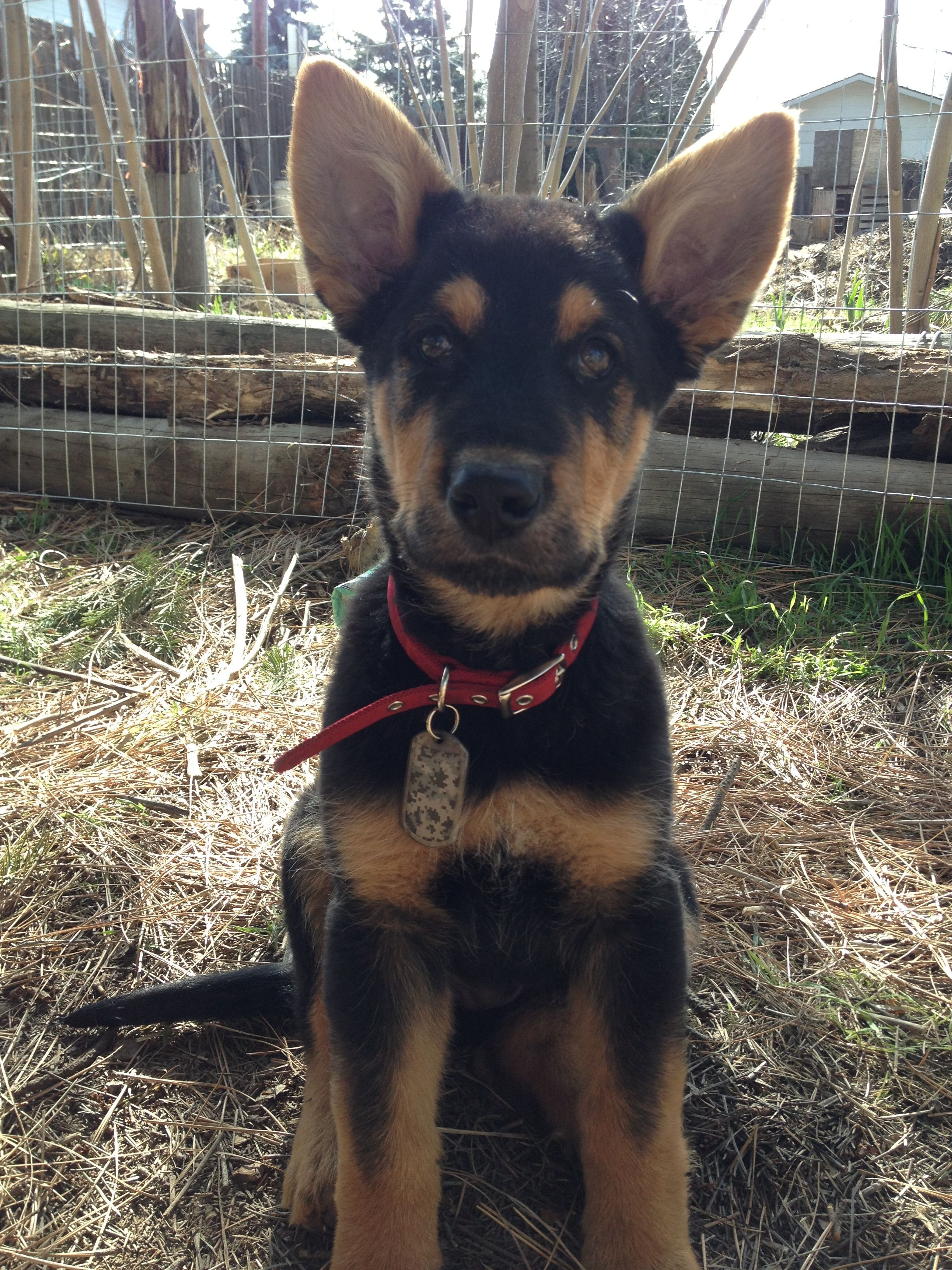 Zuko A German Shepherd Airedale Terrier Mix Puppy Terrier Mix