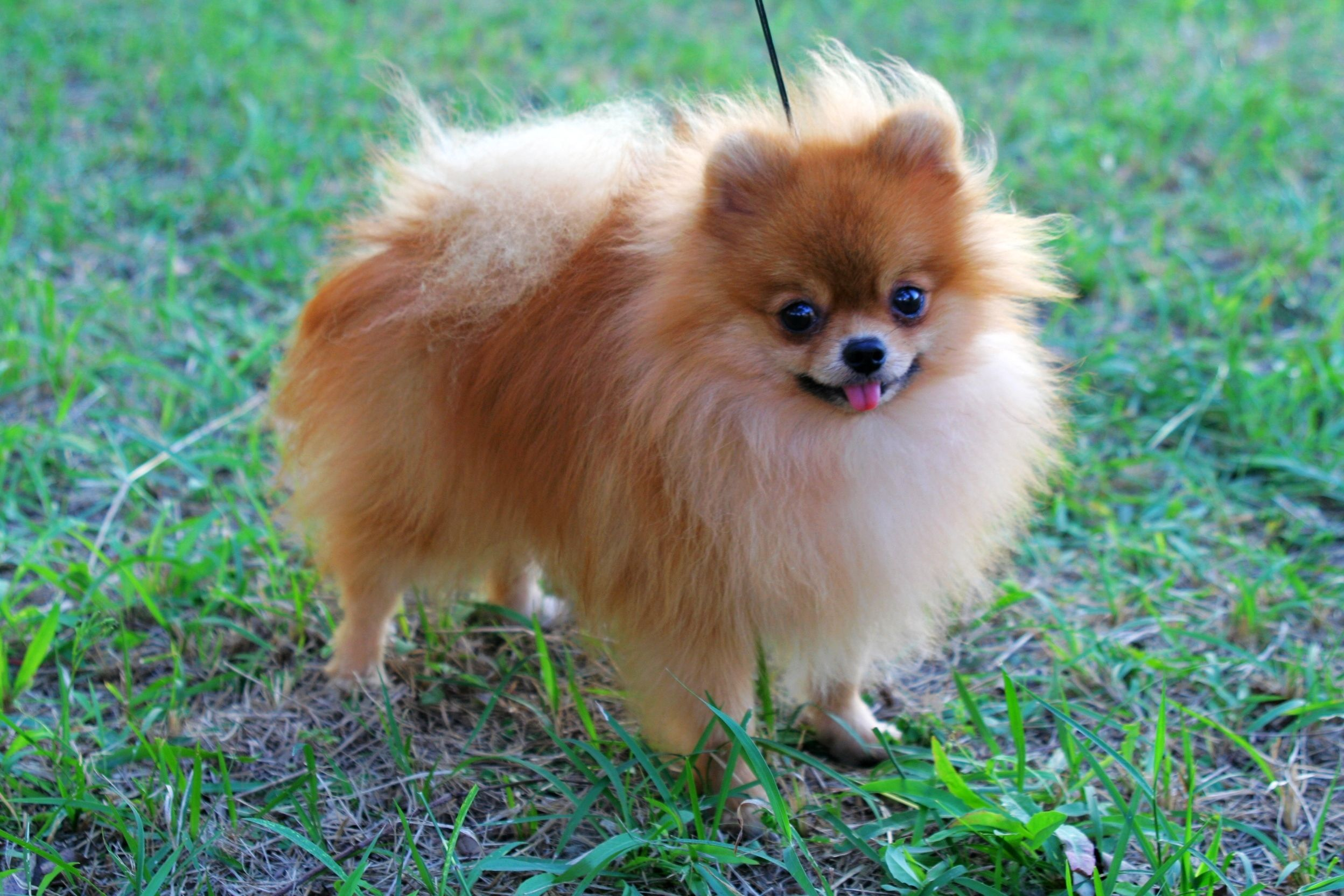 pictures of pomeranians | Red Pomeranian. Male, age of 2 ...