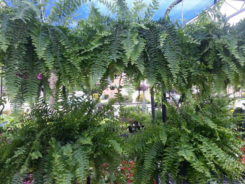 Boston #fern #hangingbasket #stauffersofkisselhill