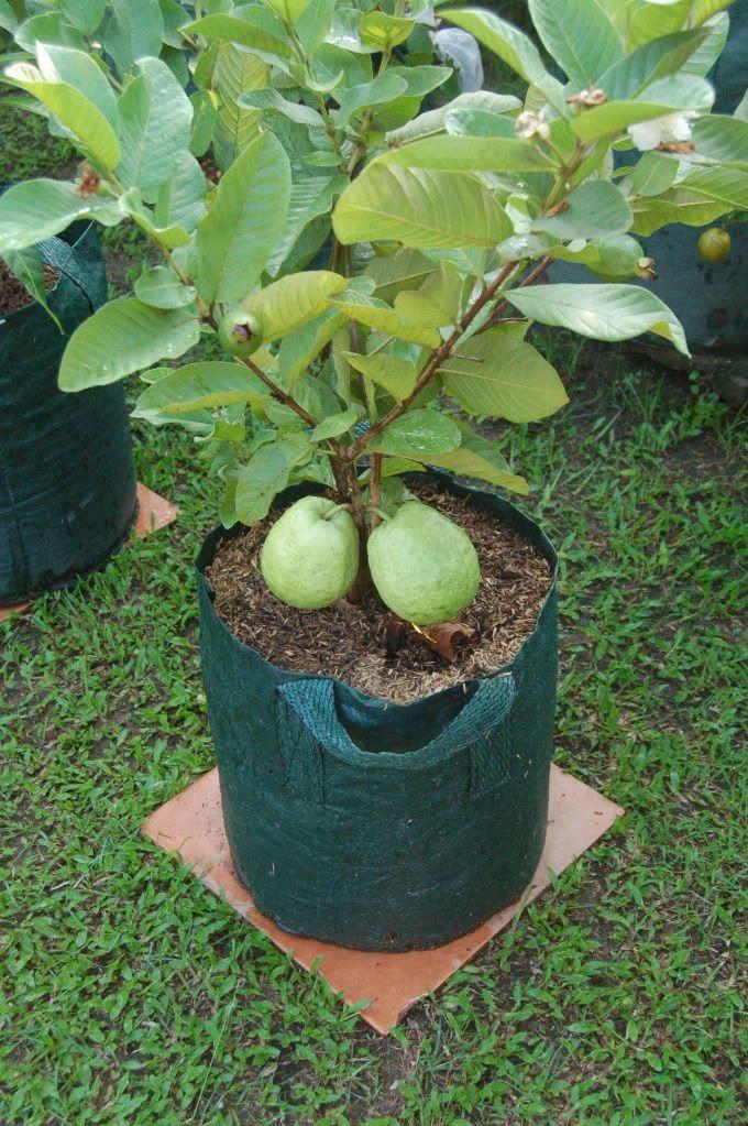 Santonisandraz S Image Fruit Garden Dwarf Fruit Trees Growing Fruit Trees